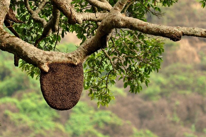 عسل وحشی درختی