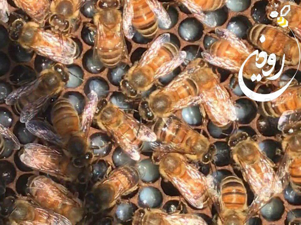 تولید ژل رویال زنبوردرمانی